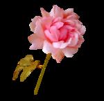«Oh_Rose»  0_8786f_4fa26c8a_S