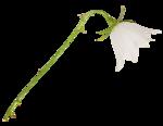 «whitebell flowers»  0_879b3_2fad3e47_S