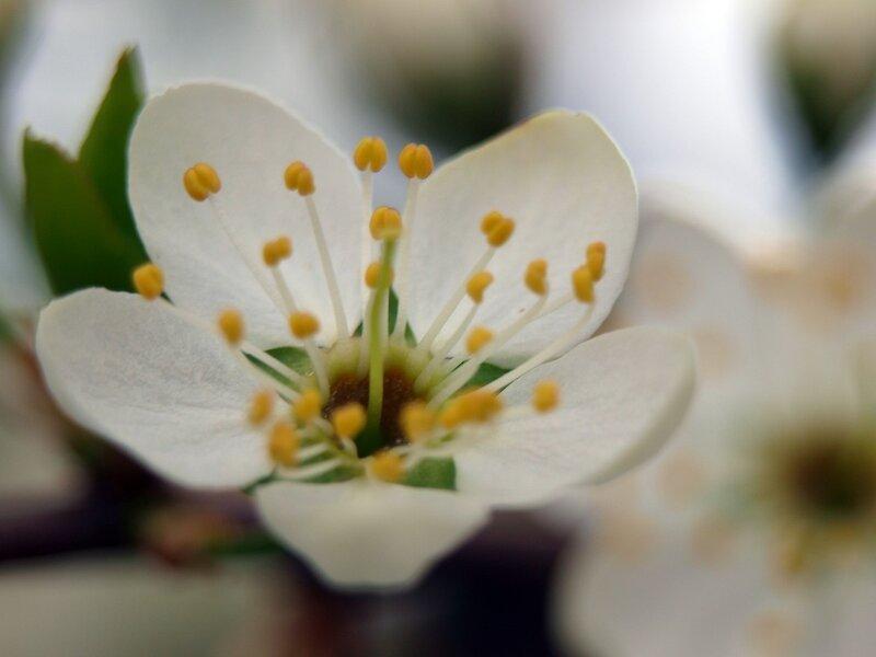 сакура цветущий тёрн P5132336.jpg