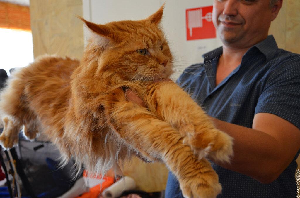 Фото журнал кот породы мейн кун