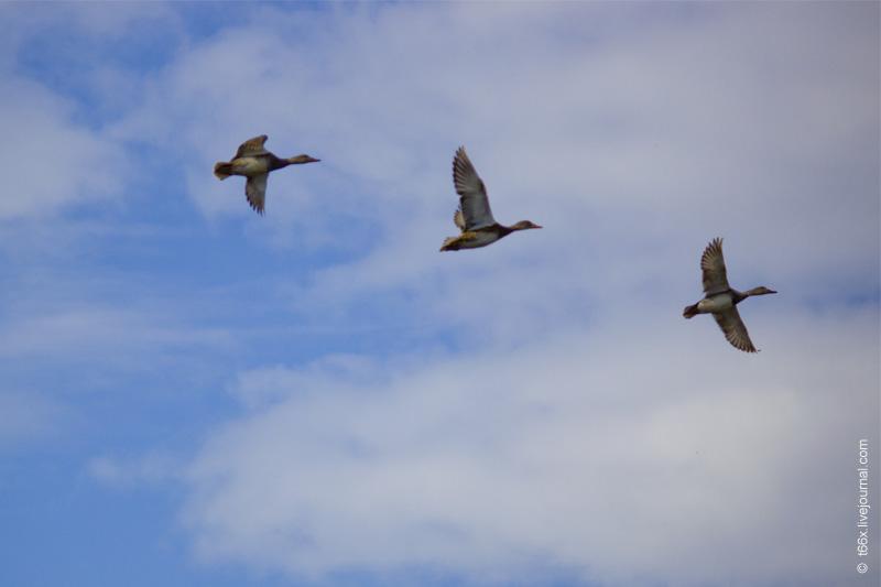 Птицы Курлады