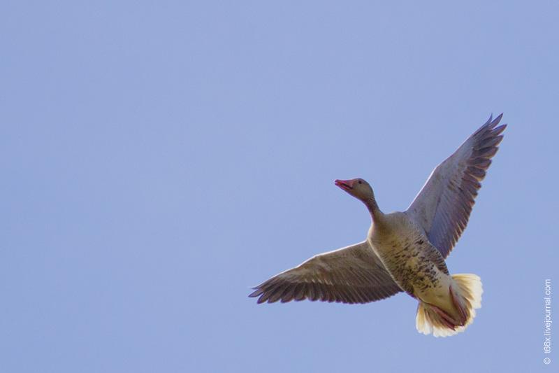 Птицы Курлады, Гуменник