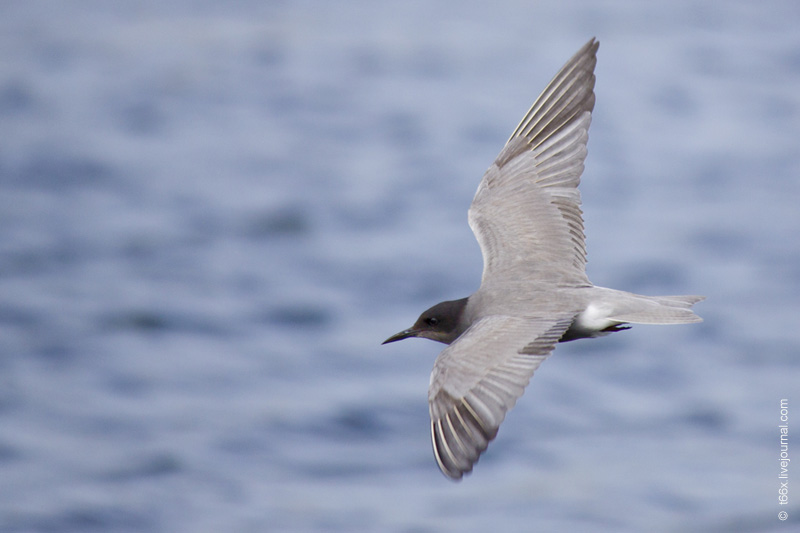 Птицы Челябинска, Чёрная болотная крачка