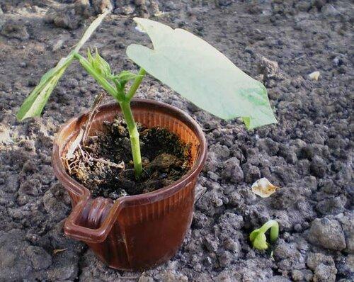 Как вырастить фасоль с удовольствием