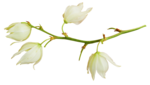«whitebell flowers»  0_879af_a999a912_S