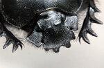 Жуки, жесткокрылые, Caleoptera