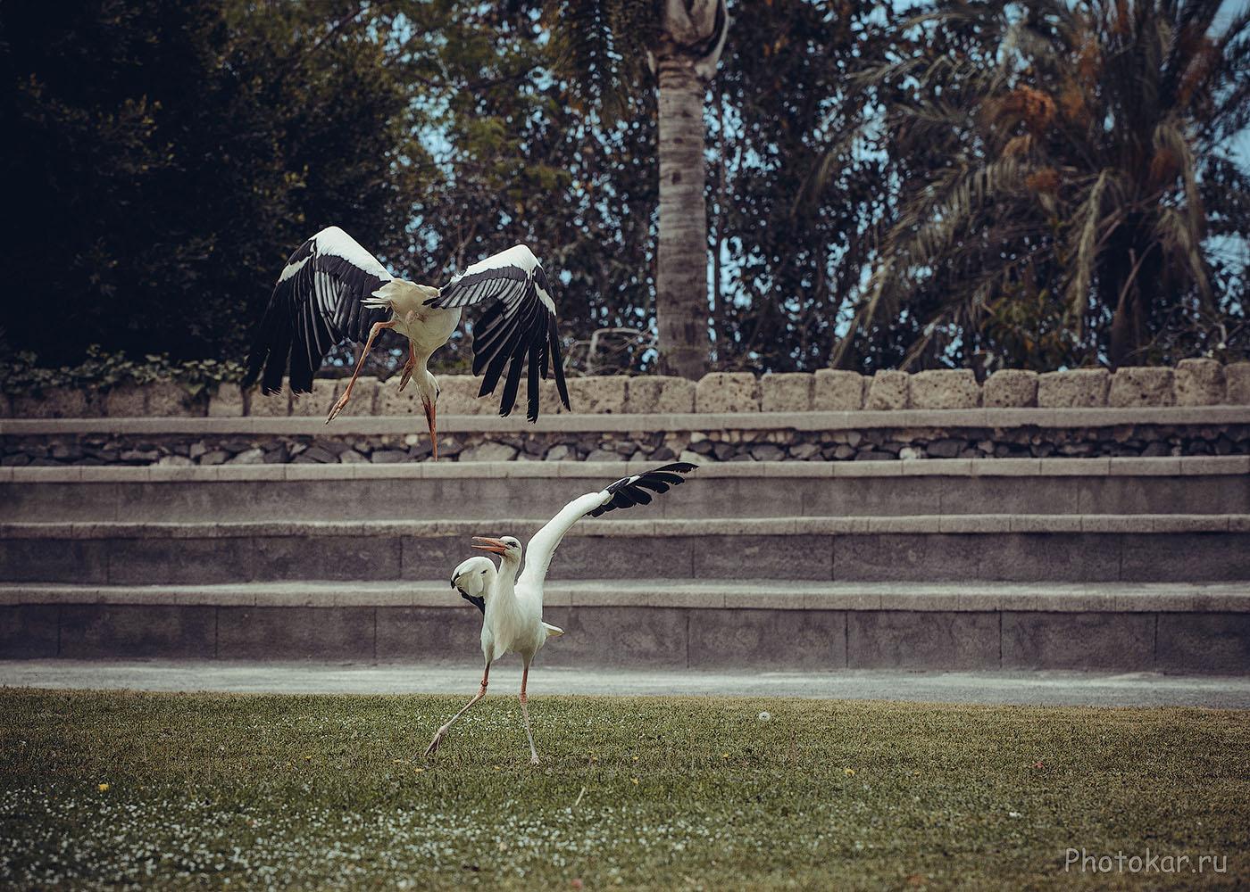 Фотография 18. Танцы аистов, снятые на телеобъектив Nikon 70-200mm f/4 (1/1000, +0.33, f/6.3, 400, 135)