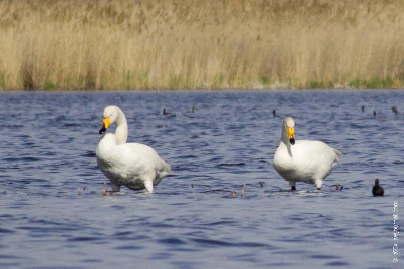Птицы Курлады, лебедь-кликун