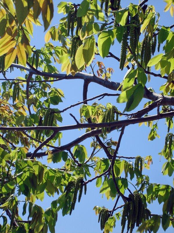 Крым,весна,Людочкин сад,цветы,орех