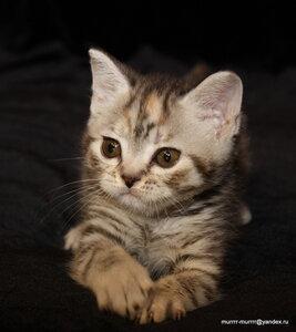 черный черепаховый серебристый пятнистый британская короткошерстная кошка