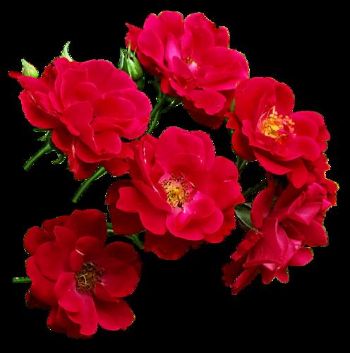 Цветы красные пнг