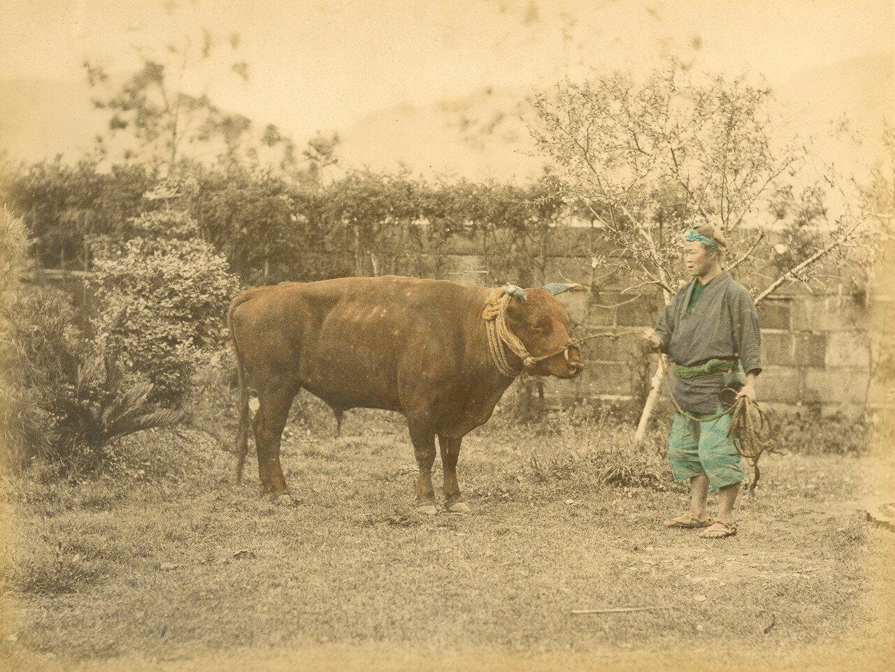 Призовой бык. 1875