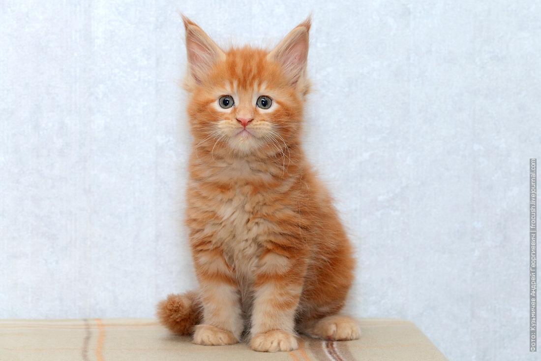 котята мейн кун продажа из питомника