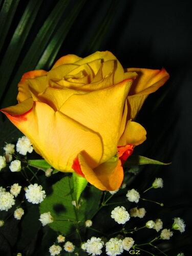 Роза цвета золота
