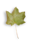 natali_autumn11_leaf5-sh.png
