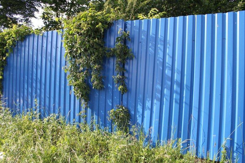 синий забор с плющом