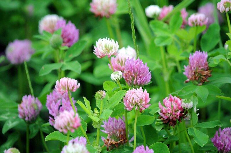 Луговые и полевые цветы фото названия