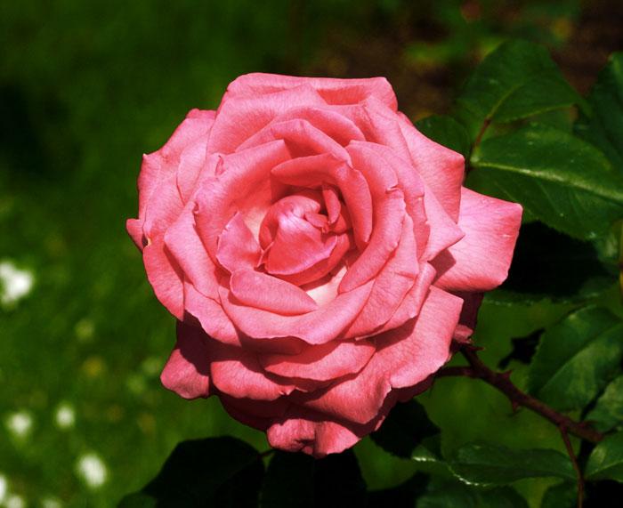Роза бело розовая гран секси