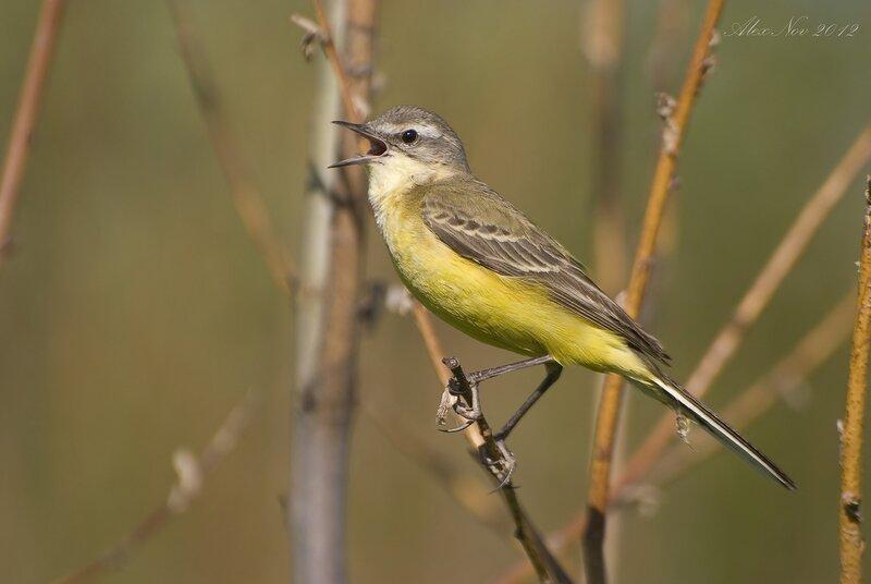 певчих птиц с названиями