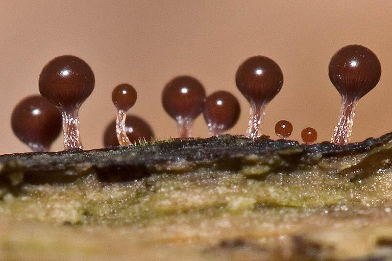 Слизевые грибы