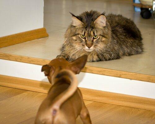 Кот мейн-кун Степан дикого окраса, похож на настоящую рысь