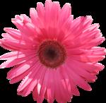 Carena Pink Gerbra 15.png