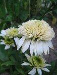 Echinacea Meringue (3).JPG