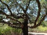 Дуб в парке Белгатос