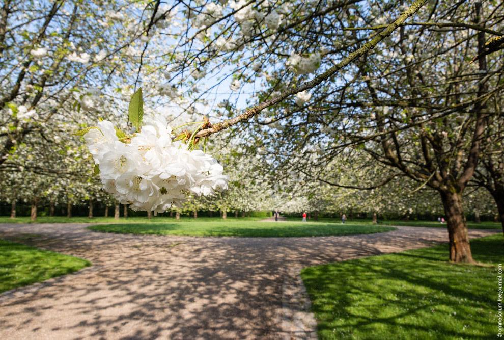 Как видите, даже в самый пик цветения ветки деревьев кажутся голыми, хотя белых цветов довольно