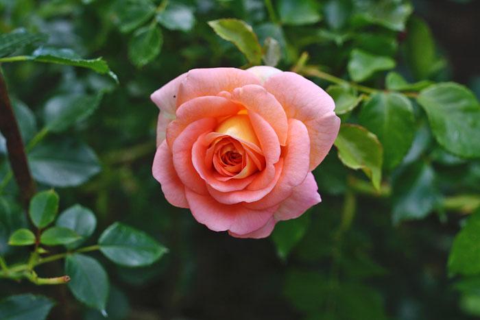 Розовые бутоны секс