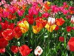 Тюльпановое время