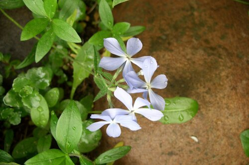 Цветок барвинка малого