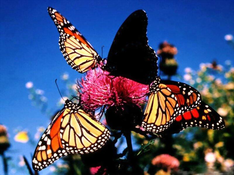 Миграция бабочек - монархов