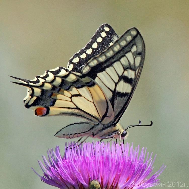 Парусник махаон (Papilio machaon)