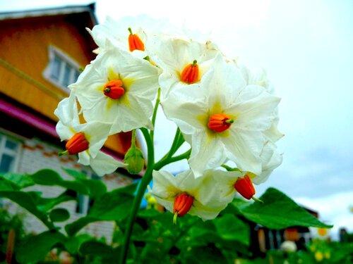 Цветет, родимая