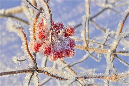 Зимняя ягода.