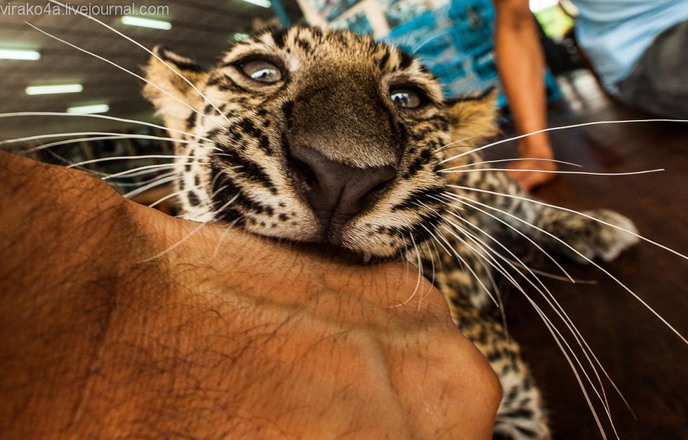 Чего хочет в сексе женщина лев родившаяся в год тигра