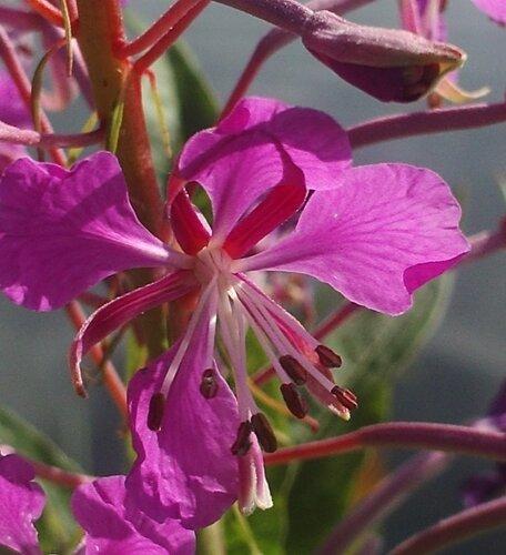 Иван-чай цветет для Кришны