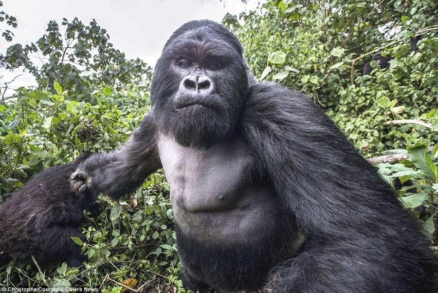 Доказательство того, что пьяные гориллы ведут себя не лучше пьяных людей (8 фото)