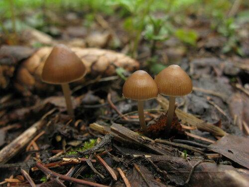 Мицена шишколюбивая (Mycena strobilicola) Автор фото: Станислав Кривошеев