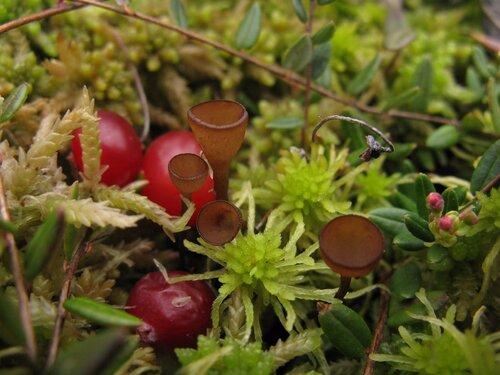 «Клюквенные грибы» всегда радуют. Грибы на ягодах – это все-таки классно! Автор фото: Станислав Кривошеев