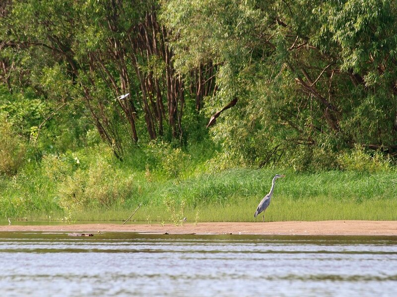 цапля, коршун и чайки на берегу Вятки