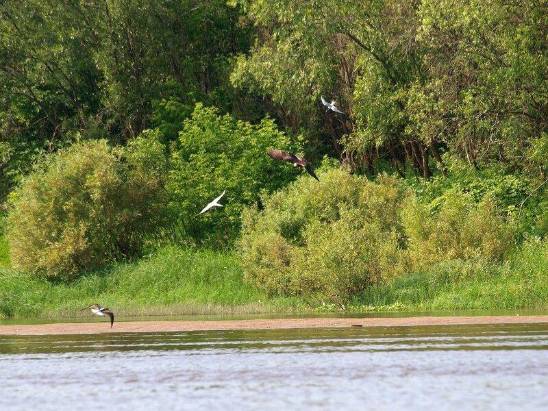 коршун и чайки на берегу Вятки