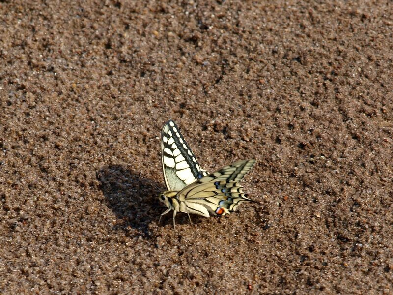 Бабочка Махаон (Papilio machaon) из семейства парусников