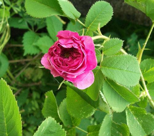 Открывающаяся роза