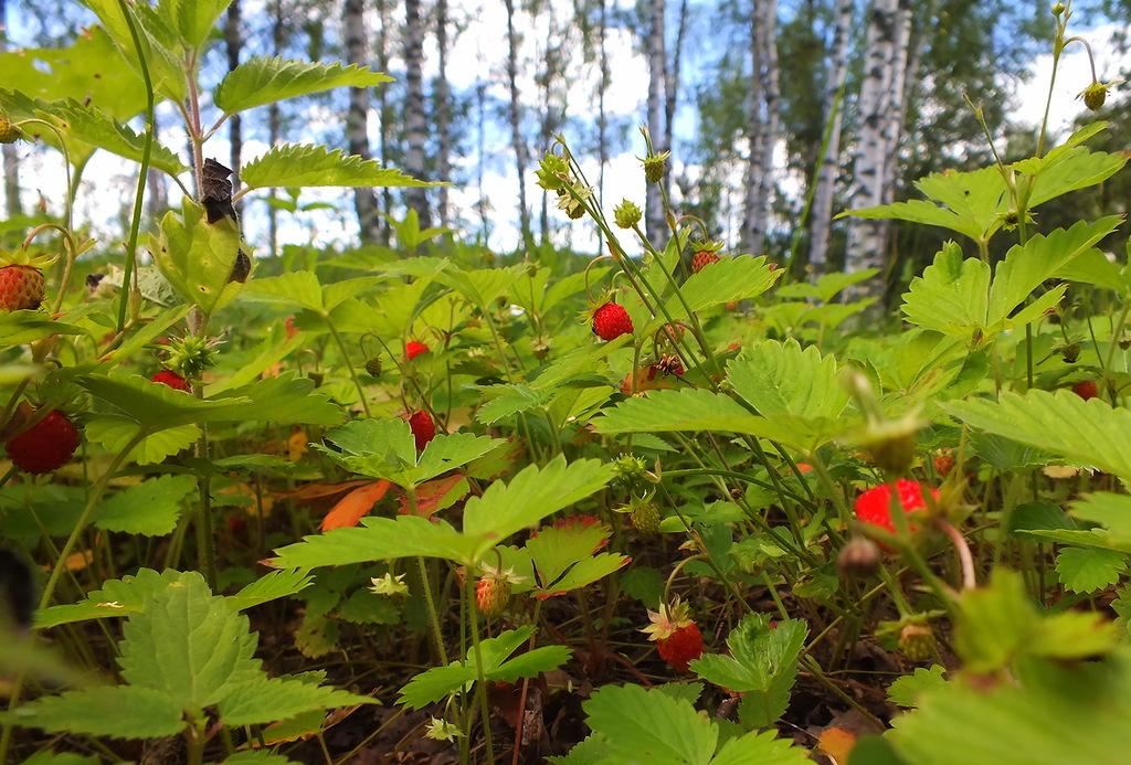 Земляника картинки русская природа в лесу картинки