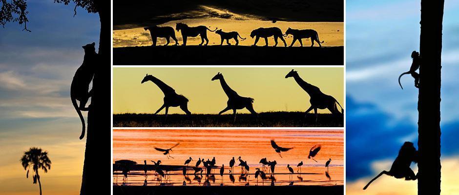 Грациозные силуэты африканских животных
