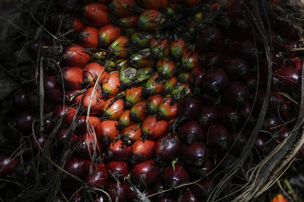 10. Так плоды выглядят на срезе. (Фото Dedi Sinuhaji):