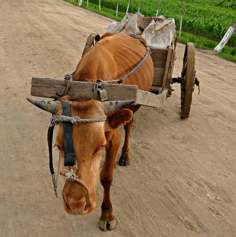 38. Кстати на повозках и на самих коровах нет номерных знаков (например все велосипеды с государстве