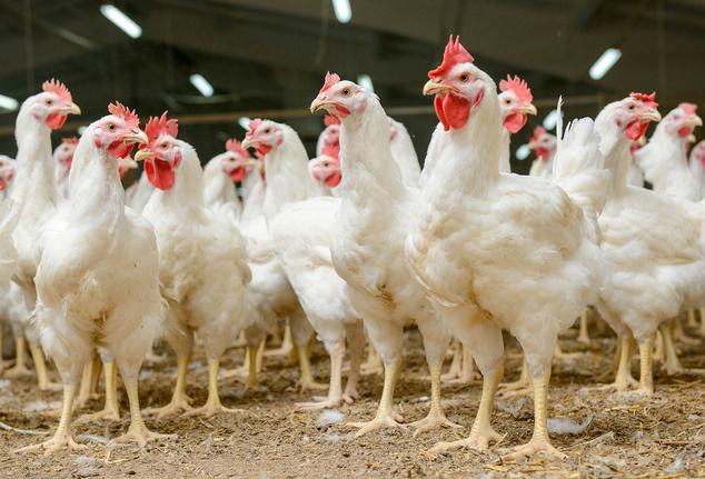 В РФ могут запретить применение антибиотиков для кур